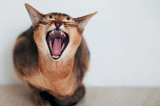 Οδοντικη Υγιεινή Γατας